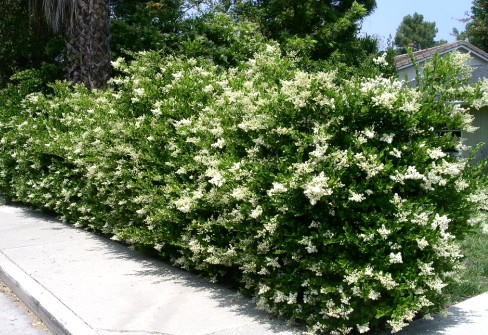Бирючина - сорта, особенности посадки, ухода и размножения кустарника