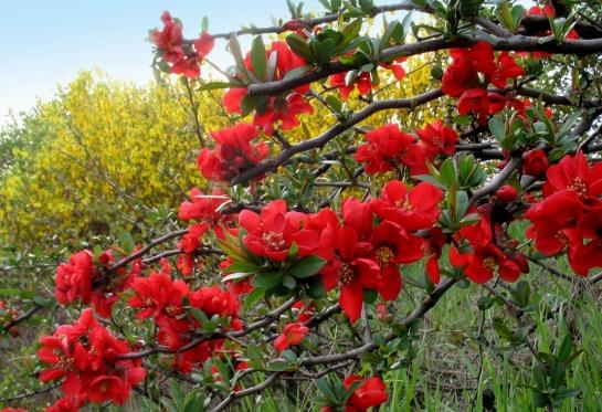 Цветущие кустарники для дачи - названия и фото растений