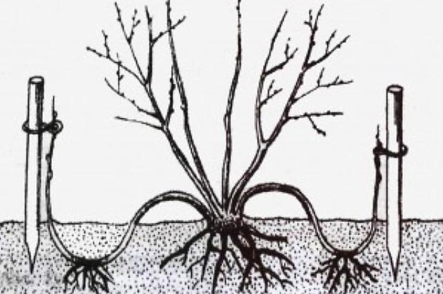 Форзиция - посадка и уход, размножение, описание сортов