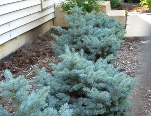 Голубая ель - особенности посадки, ухода и размножения