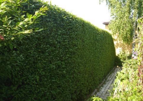 Из чего и как сделать живую изгородь на даче своими руками?