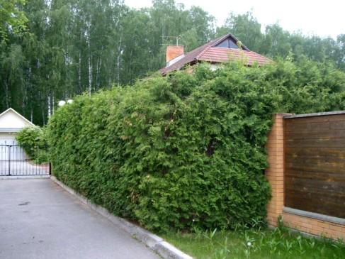 Кустарники для живой изгороди